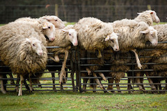 2736111-797836-sheep-in-panic-falling-over-fence